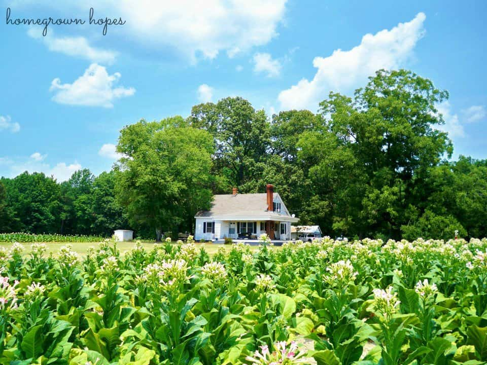 Flashback to spring at our 1st home with the tobacco in full bloom.