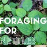 Foraging For Nettles: Homestead Blog Hop #25