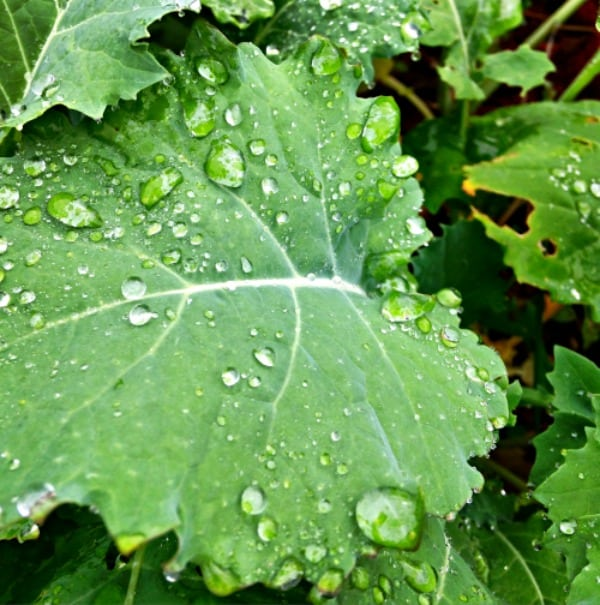 Water on kale
