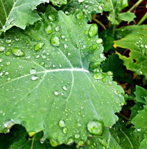 Water on kale